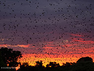 DECEMBER 'BAT SEASON' AT KASANKA
